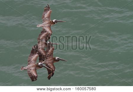 Several Brown Pelicans on flight over the ocean