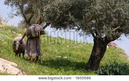 Nazareth Shepherd
