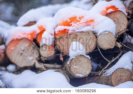 Forester's marked logs with orange fluorescent dye in winter forest