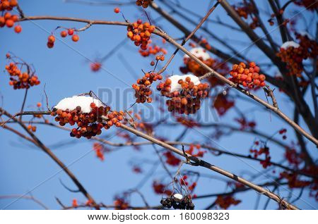 Red Ashberry With Snow On Blue Sky