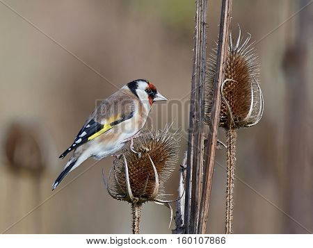European goldfinch sitting on a teasel with vegetation in the background