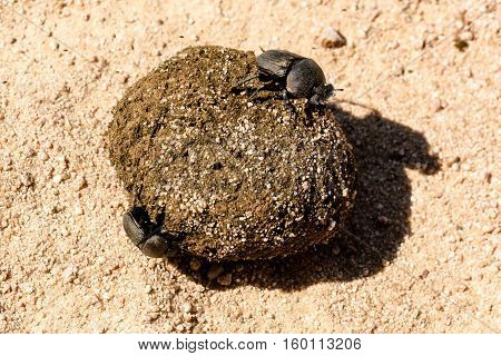 Dung beetles rolling their sand covered dung ball in South Africa