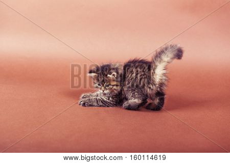 fluffy Siberian cat isolated on a brown background.