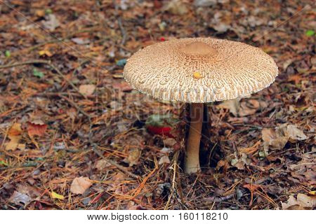 inedible mushroom of toadstool in the forest