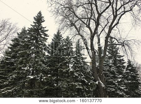 Tall Evergreen Natural Christmas Trees in a Snow Storm Getting covered  in freshly falling snow winter nature background with room for copy