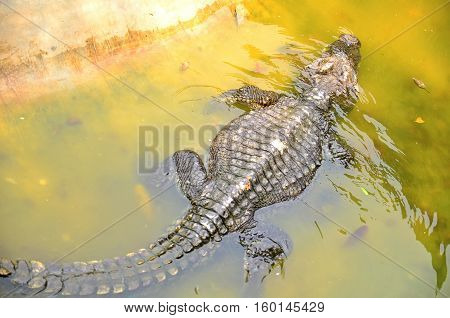 Floating crocodile lives in a zoo. in thailand.