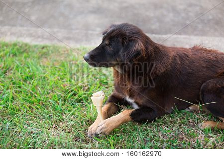 dog with Rawhide bone in its mouth on the grass dental care problem