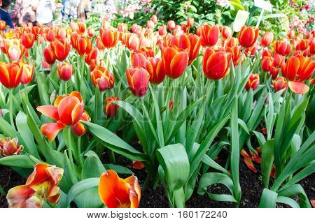 Red tulips with beautiful bouquet background. Tulip. Beautiful bouquet of tulips. colorful tulips. tulips in spring,colourful tulip