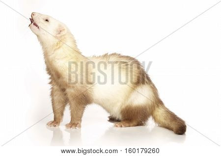 Nice champagne ferret on white background posing for portrait in studio