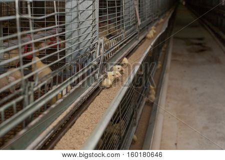 a lot of little chickens on agricultural farm