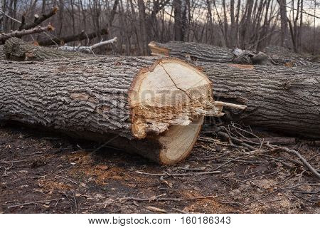 illegal felling of trees in the forest. ecology concept.