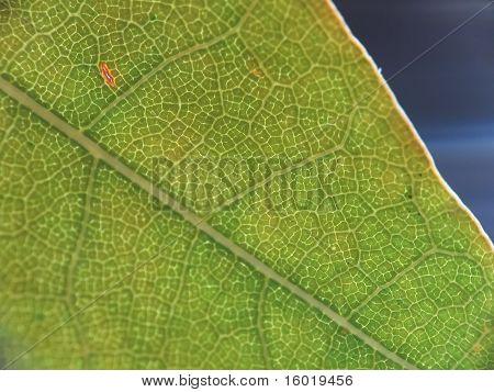 A super macro shot of a green maple leaf