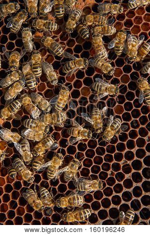 Busy Bees, Close Up View Of The Working Bees On Honeycomb.