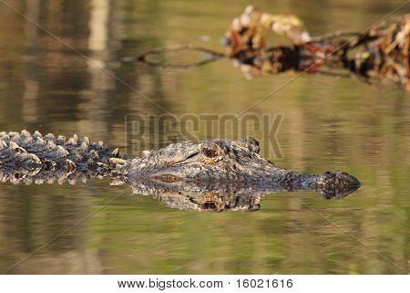 American Alligator swimming in the Suwannee River