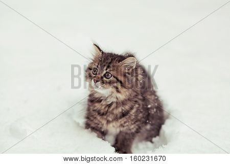 fluffy Siberian cat in a snow isolated on a white background.