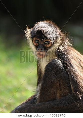 Geoffroy's Spider Monkey (ateles Geoffroyi)