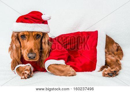 Christmas English Cocker Spaniel In Red Christmas Costume