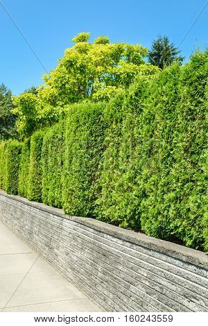 Trees behind a tall green hedge on concrete terrace with blue sky background