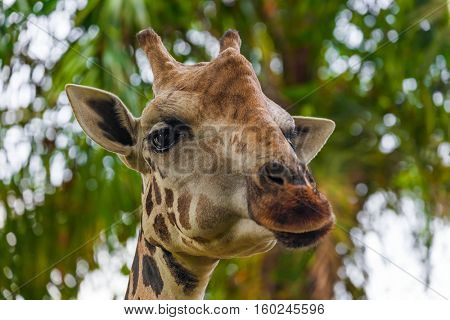 Giraffe in park - animal background
