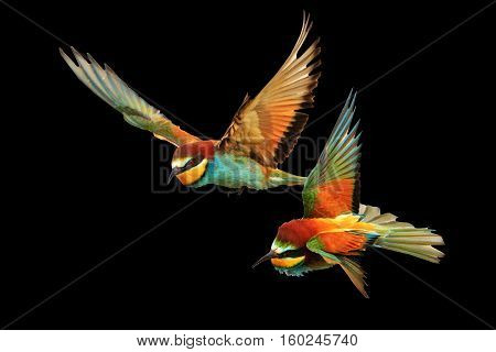 Birds of Paradise fighting in flight isolated on a black background, bee-eaters , Merops Apiaster
