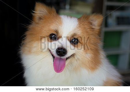 lovely furry white and brown color Pomeranian dog