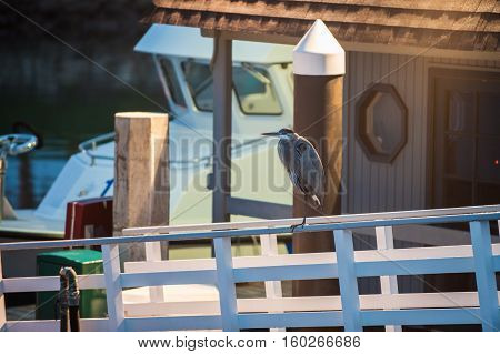 Great Blue Heron balanced on dock handrail in early morning.