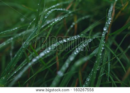 Fresh grass background with dew drops closeup