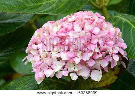 Cluster of pink and white Hydrangea surrounded by green leaves. Hydrangea has long been a popular flowering shrub. The flowers are considered by many as Grandmother's old-time flower.