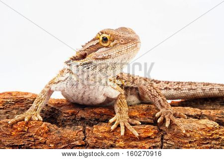 one agama bearded on white background.siting on the bark of tree.closeup