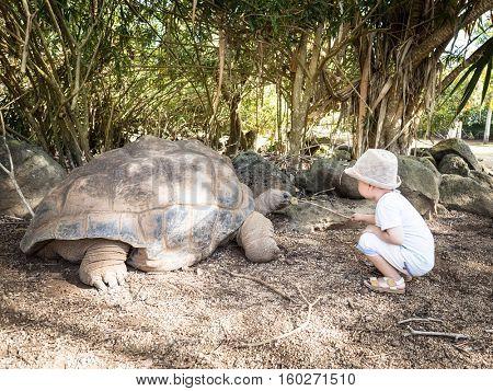 Child feeding Aldabra giant tortoise. Mauritius