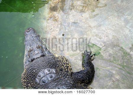 A Crocodile Head
