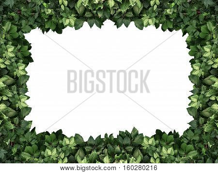 frame of the climbing plant isolated on white background