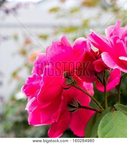 The nature garden flower Rose.