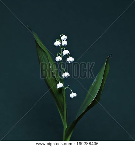 Lily of the valley on a dark background