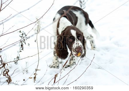 Walk with puppy on first snow. Cute Puppy English Springer Spaniel chewing on branches bush on the fall nature.