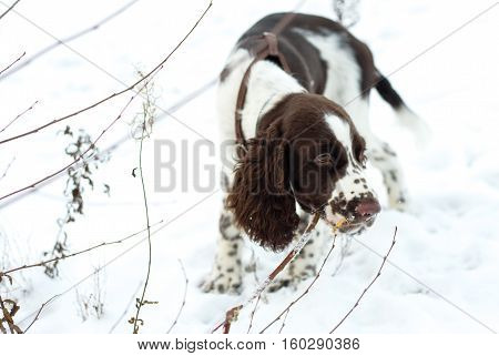 Walk with a puppy for the first snow. Cute Puppy English Springer Spaniel chewing on branches bush on the fall nature.