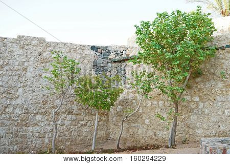 Young trees near the stone wall