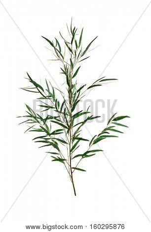 Branch of eucalyptus nicholii on white background