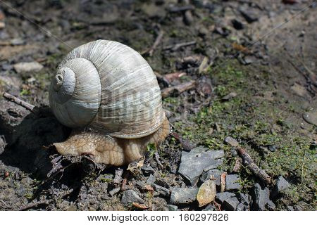 the snail in a brown natural habitat