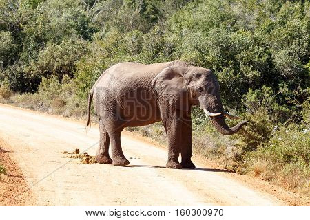 Bush Elephant Standing On The Dusty Road