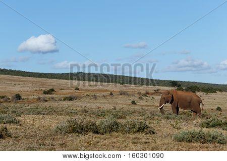 Happy African Elephant Standing In The Open Field