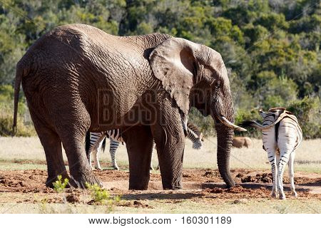 Bush Elephant Drinking Water While The Zebra Standing Close By