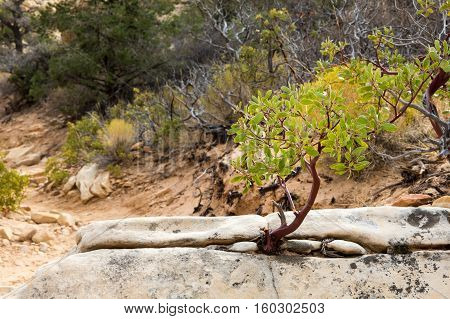 Young manzanita tree growing from a rock in the desert at Red Rock Canyon National Conservation Area outside of Las Vegas Nevada. Classic metaphor for life surviving in a harsh environment.