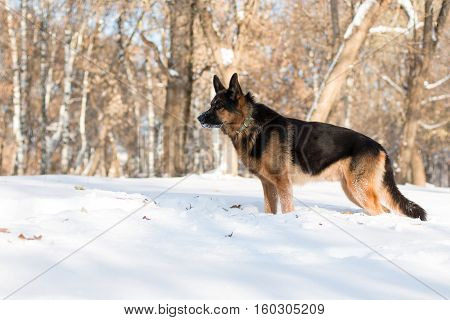 Dog German Shepherd In A Park In A Winter