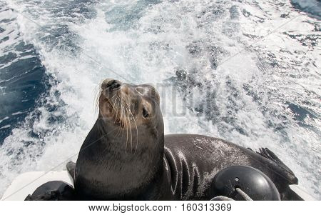 California Sea Lion on the back of charter fishing boat in Cabo San Lucas Mexico B C S