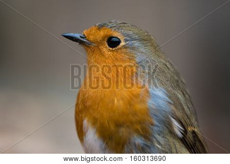 Robin (Erithacus rubecula) close-up of head and breast. Bird filling the frame in profile with particularly striking orange breast and fine detail in feathers