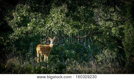 Roe deer - A roe deer is standing in the sun looking at the camera