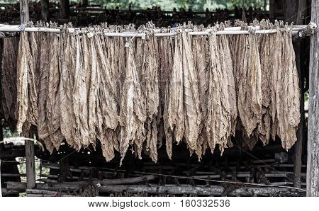 Classical way of drying tobacco in barn