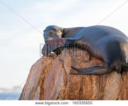 California Sea Lion resting on