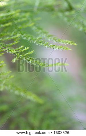 Delicate Asparagus Fern